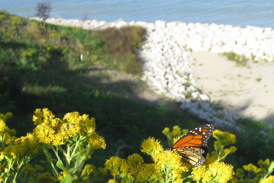 Monarch butterfly on Mequon campus looking over the bluff on Lake Michigan.